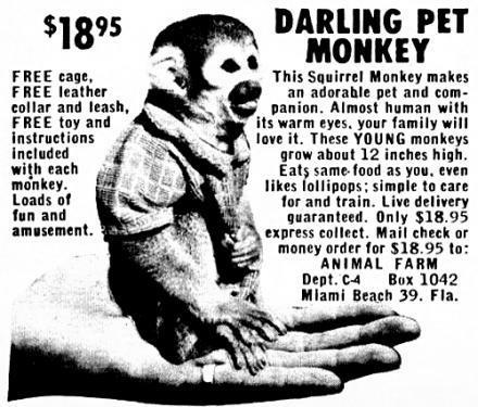 darling pet monkey