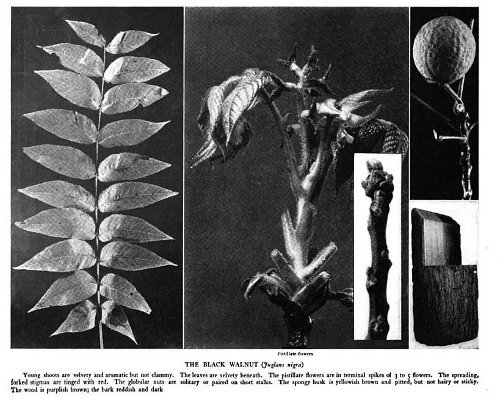 "Walnut from ""The Tree Book."""