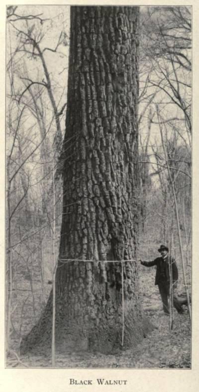 A black walnut tree and it's friend Fernando.